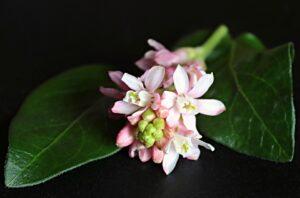 La Floraison De Cassis, Fleurs, Ribes, Bush, Rose